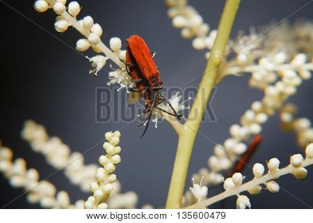 A couple of red beetles on a white flower