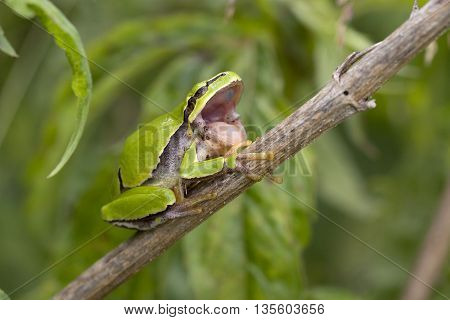 European Tree Frog (Hyla arborea) resting on a stem and yawning