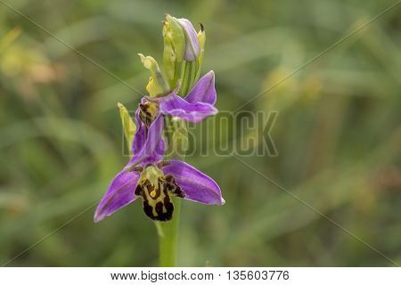 Two flowers of a Bee Orchid (Ophrys apifera) flowering