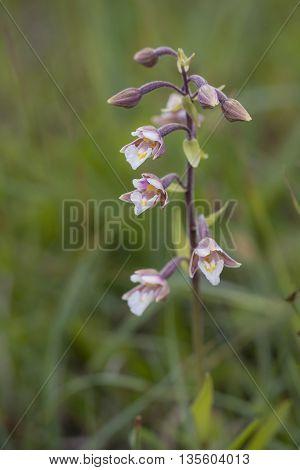 Marsh Helleborine (Epipactis palustris) flowering in a Dune Valley