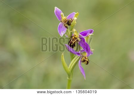 Three flowers of a Bee Orchid (Ophrys apifera) flowering