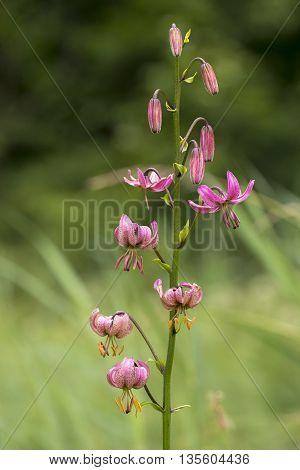 Turk's Cap Lily (Lilium martagon) flowering in an Arboretum