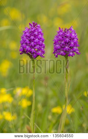 Two Pyramidal Orchids (Anacamptis pyramidalis) flowering in an Arboretum