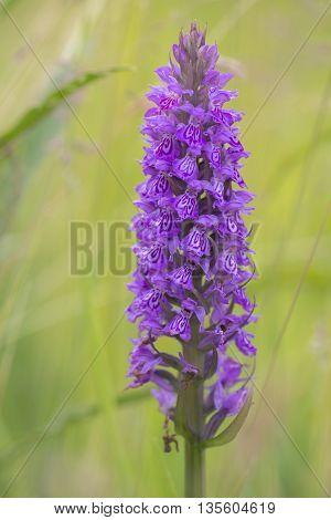 Leopard Marsh Orchid (Dactylorhiza majalis ssp praetermissa var junialis) flowering in a meadow