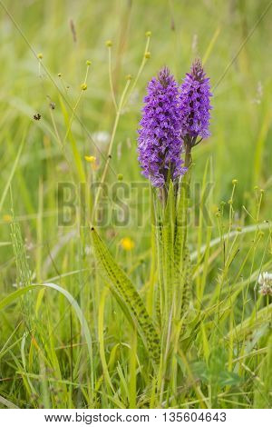 Two Leopard Marsh Orchid (Dactylorhiza majalis ssp praetermissa var junialis) flowering between the vegetation in a meadow