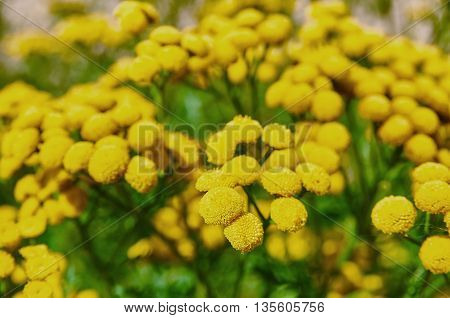 Tansy tanacetum vulgare. Wild herbs. Yellow flowers