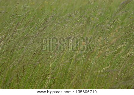 Full-grown flowering grass swaying in the wind.