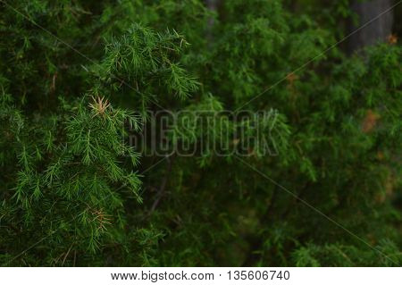 A close up of juniper branches in a forest.