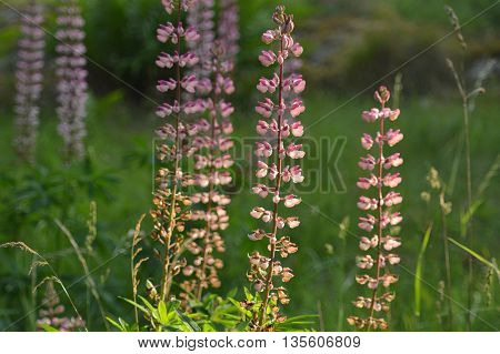 Several pink and white flowering lupins standing tall in the evening sunlight.