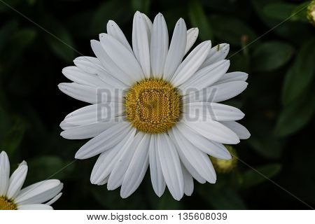 A daisy blooms near the beach in Edmonds, Washington