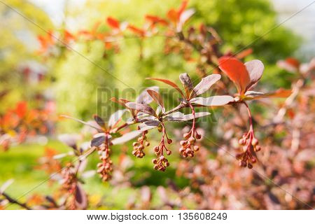Blooming Berberis ottawensis deciduous and evergreen shrub. Bright yellow flowers natural spring background.