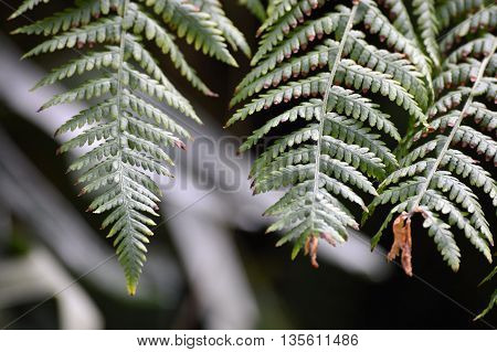 Green fern fronds growing in the garden
