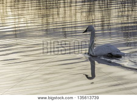 Lone Trumpeter Swan Swimming In The Early Evening