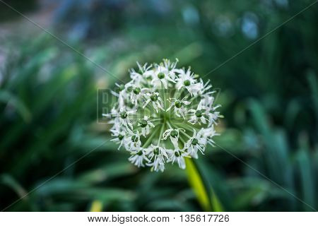 White Wild Onions or White Allium Blooming in Garden