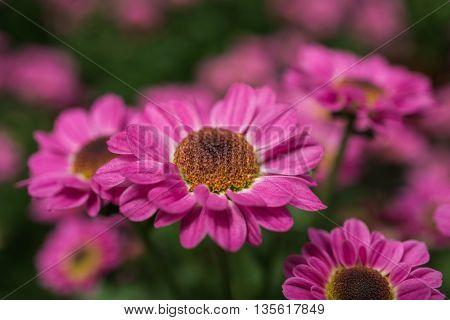 Purple Coneflowers or Echinacea Blooming at Garden