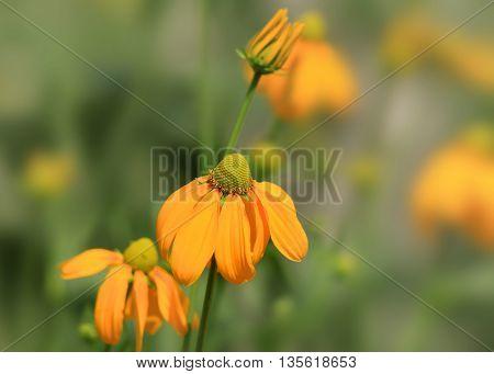 Close up shot of black eyed Susan flowers