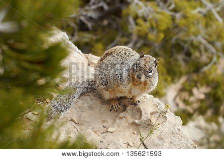 Squirrel chipmunk. Near the Grand Canyon in Arizona.