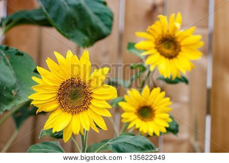 A Trio of Sunflowers in Front of Fence
