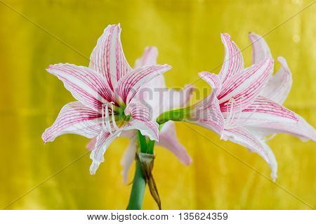 White Pink amaryllis flower in yellow background