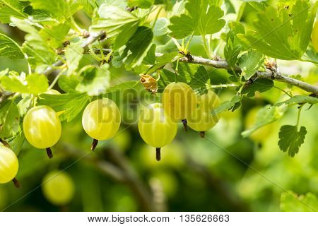 grows ripe gooseberries on a branch background