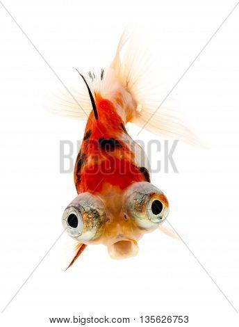 Calico Telescope-eyes Goldfish goldfish on white background.