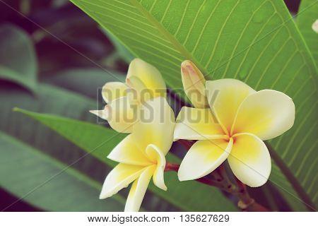 White Frangipani Tropical Flower, Plumeria Flower Fresh Blooming On Tree
