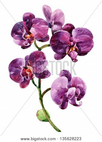 Watercolor purple orchid flowers isolated on white background. Orchid blooming branch. Hand painted illustration for greetings invitations pattern design