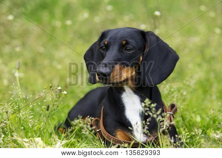 the dog breed dachshund is lying on green grass
