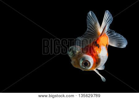 Calico Telescope-eyes Goldfish isolated on black background. File contains a clipping path.