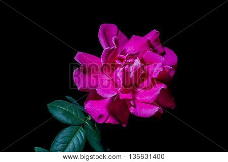 close up Pink roses on a black background.
