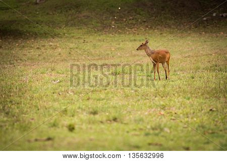 deer, stag, buck, antler, forest, male, autumn, doe, fight, fur,