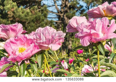 Blooming peony bush.  We see the spring bloom in the Botanical Garden in Kiev.