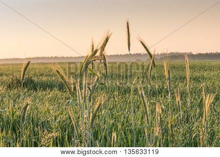 View of wheat field.  We see the dawn in a field of wheat near Kiev.