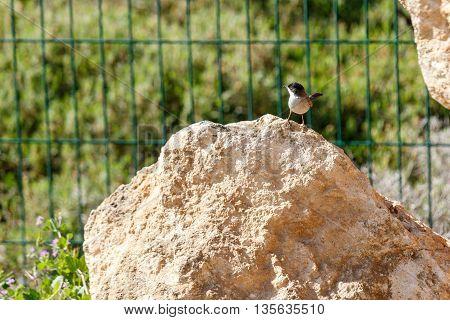 The Small sylvia melanocephala on a stone