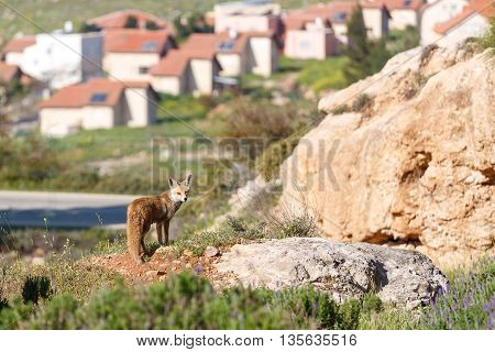 Female Of Red Fox Is Standing Front Of Settlement