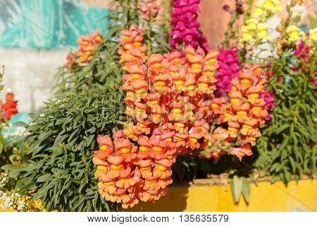 Orange Antirrhinum with leaves in flower box