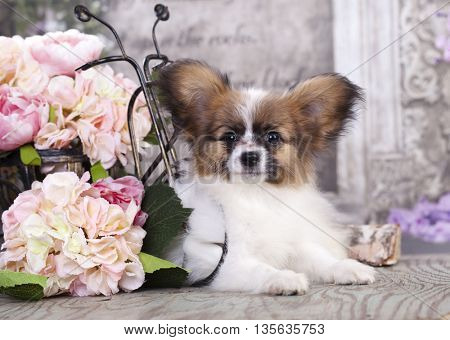 Papillon puppy, butterfly dog