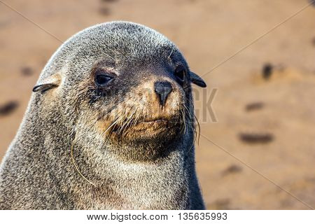 Large fur seal basking in the autumn sun. Reserve fur seals in the Cape Cross, Namibia
