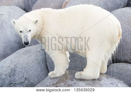 Close-up Of A Polarbear (icebear)
