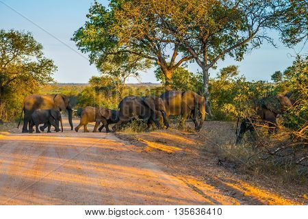 Herd of elephants becomes a dirt road. Kruger National Park, South Africa. Sunset