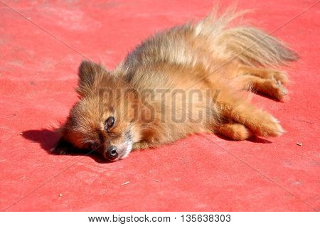 cute puppy pompom resting on red background