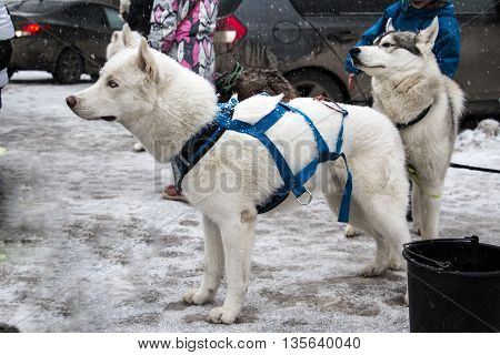 Beautiful Husky Dog In Winter Snowy Day