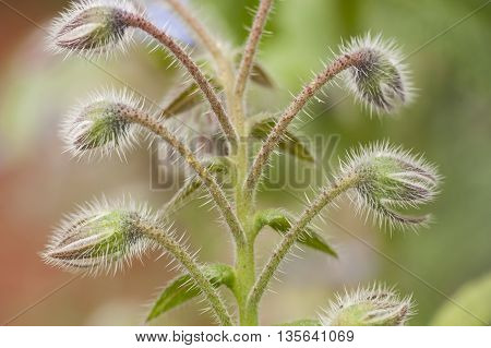 Thorny flower buds of starflower plant borago officinalis