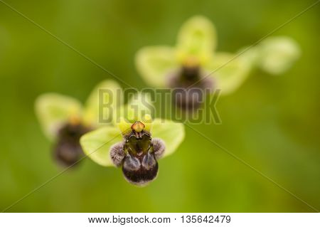 Mediterranean spontaneous orchid flower close up, Ophris bombiliflora