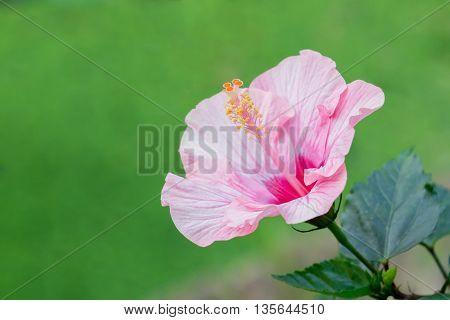 Pink Hibiscus Rosa-sinensis flower or China rose