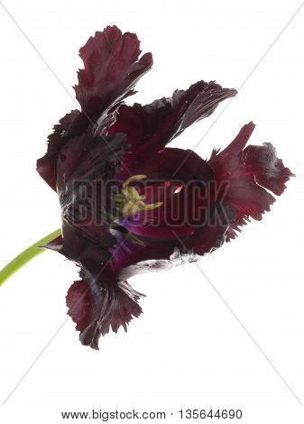 beautiful large fragrant flower black tulip with torn edges of the petals unusual varieties of parrot isolated on white background