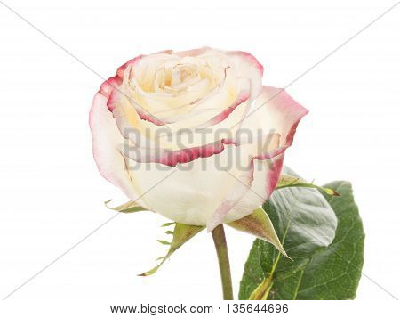 gentle beautiful fragrant white two-tone rose flower with unusual bright pink edges of the petals on a white background isolated