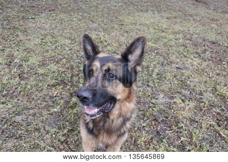 German Shepherd Dog In A Autumn Day