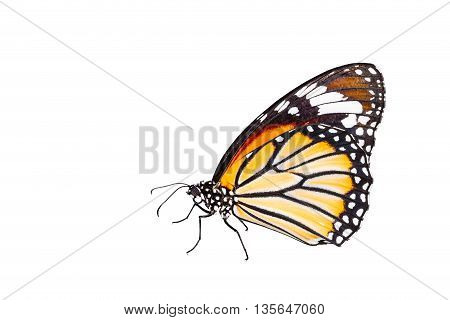 Isolated common tiger butterfly on white with clipping path