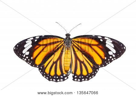 Isolated top view of common tiger butterfly on white with clipping path